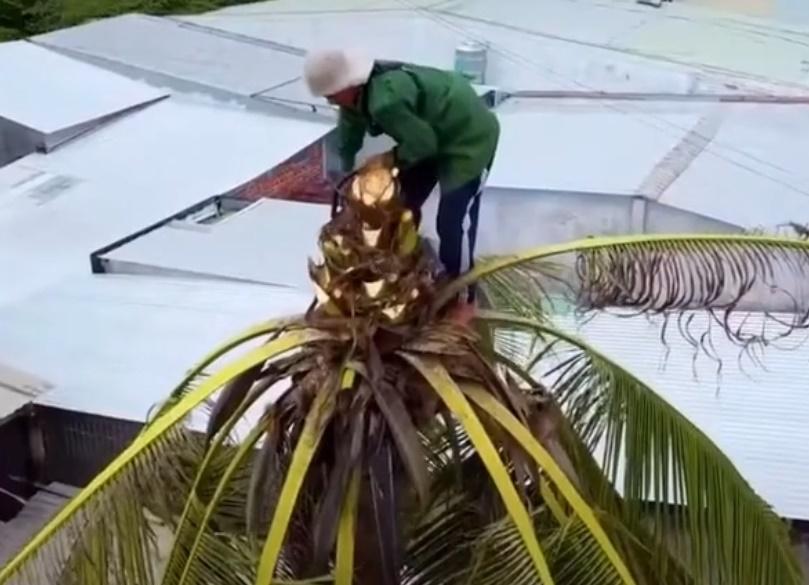 Thót tim xem cảnh người đàn ông ở miền Tây một thân một mình không đồ bảo hộ leo và cưa đổ cây dừa cao hàng chục mét - Ảnh 1.