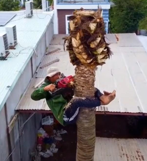 Thót tim xem cảnh người đàn ông ở miền Tây một thân một mình không đồ bảo hộ leo và cưa đổ cây dừa cao hàng chục mét - Ảnh 3.