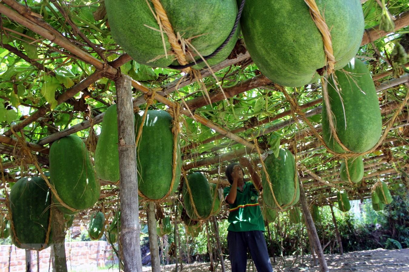 Siêu to khổng lồ hay có màu sắc đặc biệt: 7 loại quả đang trồng ở Việt Nam này tới người Việt chưa chắc đã biết - Ảnh 2.