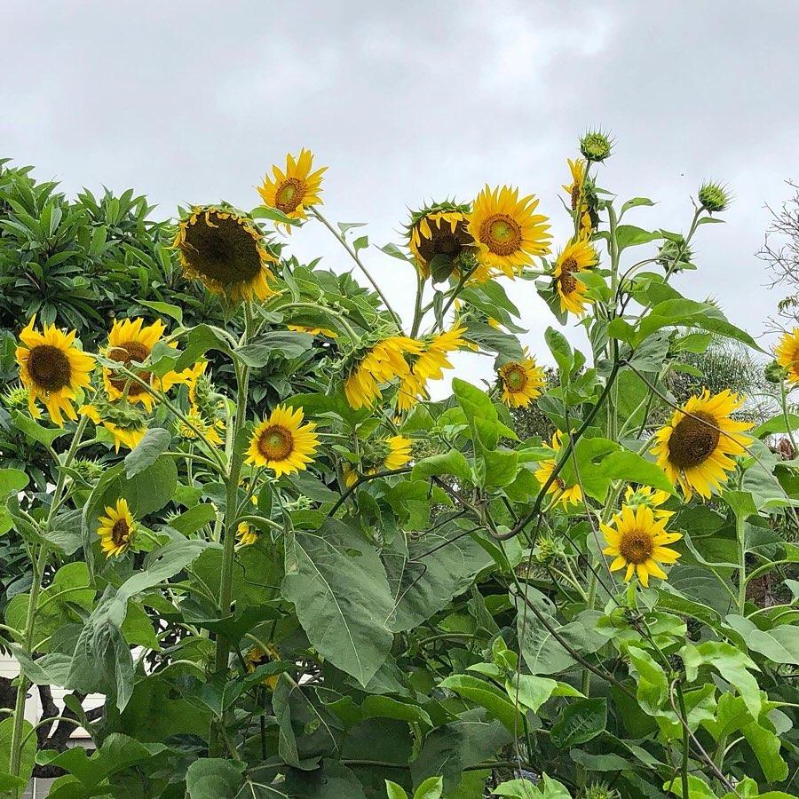 Gia đình 7 người trồng rau quả, nuôi gà sạch, sống yên bình ở ngoại ô trong những ngày dịch Covid - 19 - Ảnh 1.