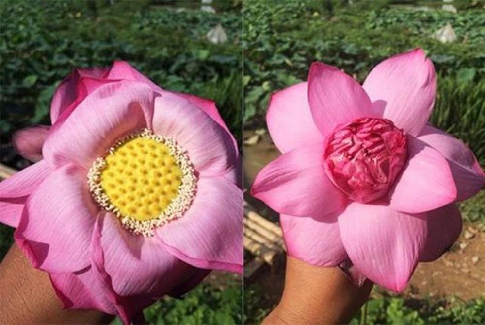Chị bán hoa chia sẻ 7 bí quyết để chị em phân biệt cực nhanh giữa sen và quỳ để khỏi mua nhầm - Ảnh 4.
