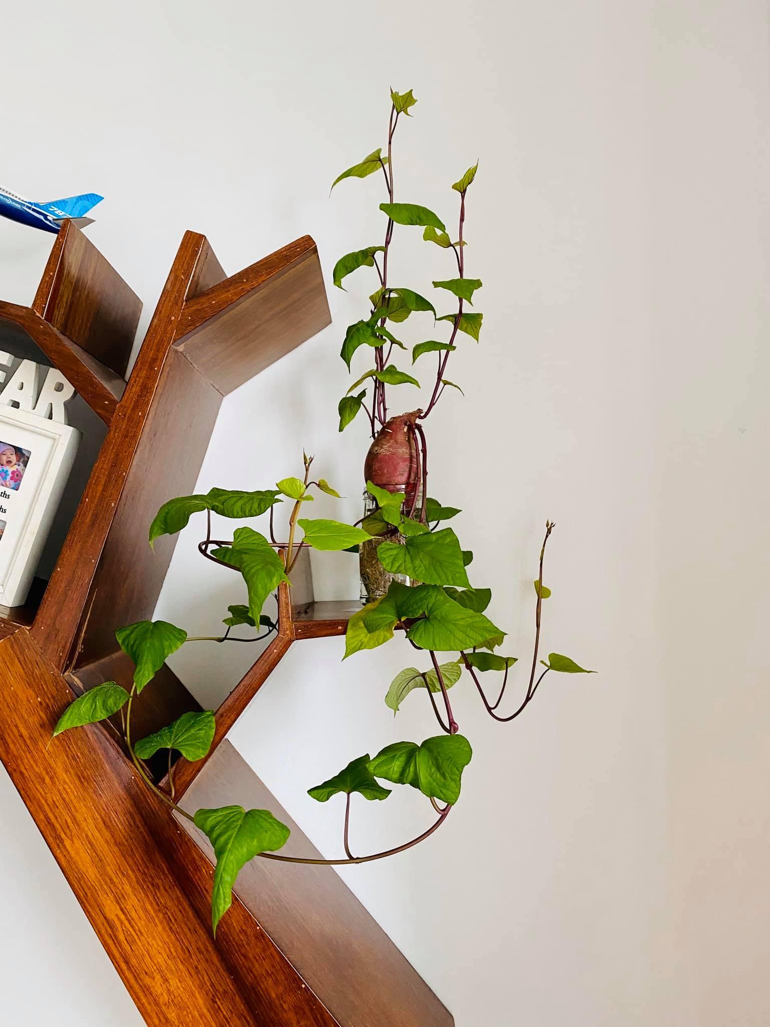 Trồng khoai lang bonsai làm đẹp nhà với các bước dễ vô cùng mà nói ra ai cũng sẽ làm được - Ảnh 2.