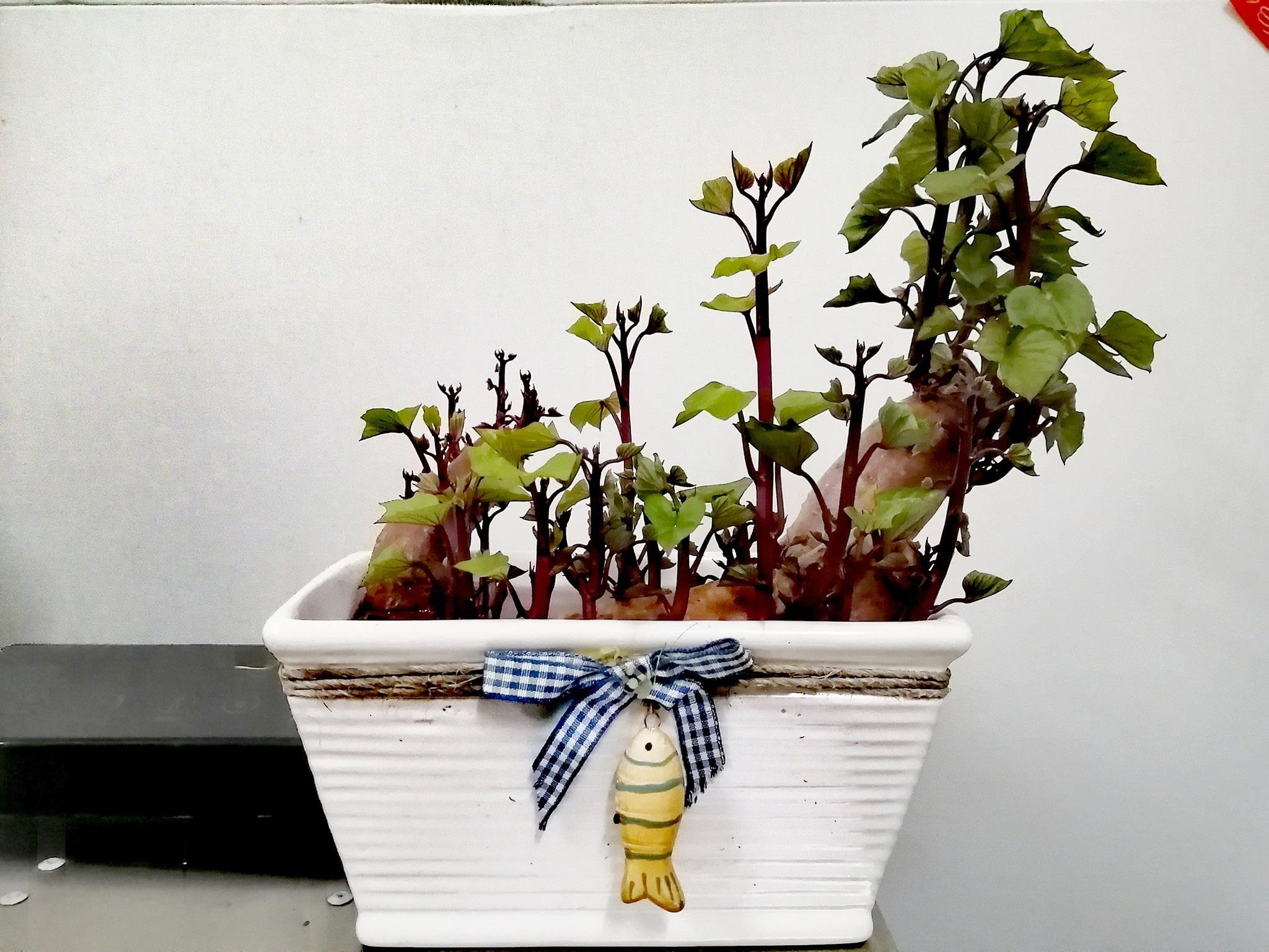 Trồng khoai lang bonsai làm đẹp nhà với các bước dễ vô cùng mà nói ra ai cũng sẽ làm được - Ảnh 6.