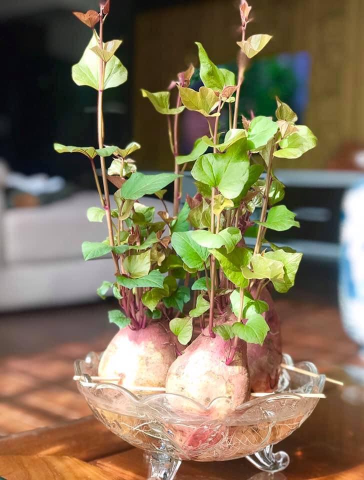Trồng khoai lang bonsai làm đẹp nhà với các bước dễ vô cùng mà nói ra ai cũng sẽ làm được - Ảnh 8.