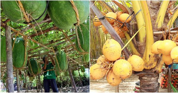 7 loại quả siêu to có màu sắc đặc biệt đang trồng ở Việt Nam người Việt chưa chắc đã biết