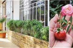 Ban công tập thể biến thành khu vườn đủ loại rau quả và hoa nhờ bí quyết đặc biệt của mẹ trẻ Hà Nội