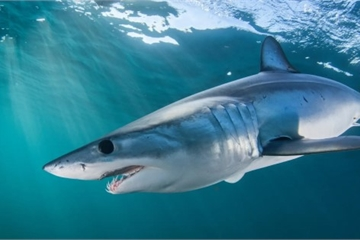 'Hung thần đại dương' đứng trước nguy cơ tuyệt chủng