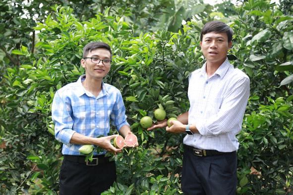 Anh Hà Ngọc Quang (bên trái) trong vườn cam cara ruột đỏ của gia đình.