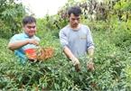 Chung đam mê, 4 chàng trai Ê đê bắt tay làm giàu từ nông nghiệp sạch