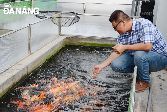 Mỗi năm, anh Trần Thướt Vỹ xuất bán hàng ngàn con cá Koi đến các tỉnh, thành phố trong cả nước. Ảnh: THU HÀ