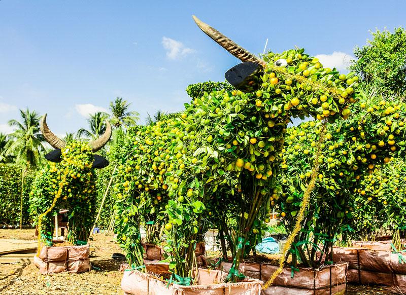 Trâu vàng của vườn kiểng Huỳnh Thanh.
