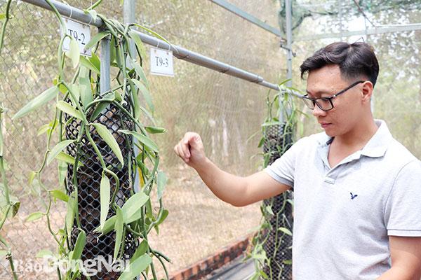 Anh Phạm Thái Vương Nam (P.Xuân Hòa, TP.Long Khánh) đang thụ phấn cho hoa vani. Ảnh: Hải Yến