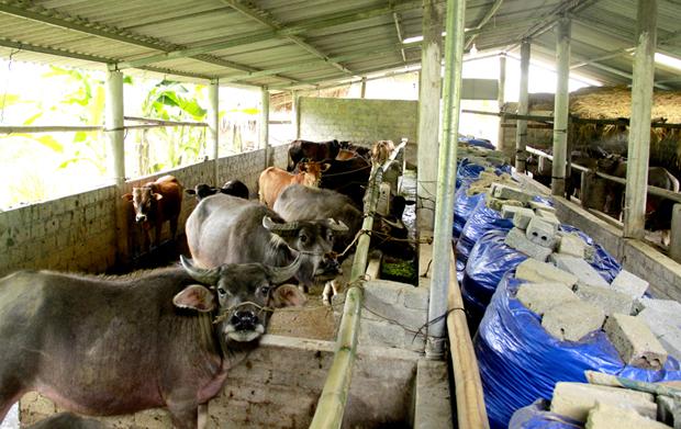 Ứng dụng công nghệ sinh học trong chăn nuôi giúp bà con phòng chống dịch bệnh và xử lý môi trường