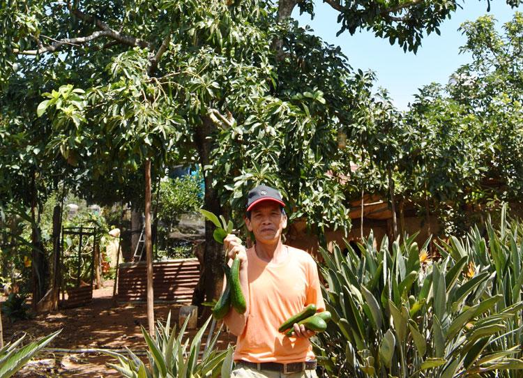 Cây bơ cổ thụ truyền thống ghép 200 mắt chồi bơ 034 ở xã Tà Nung, Đà Lạt ước thu hoạch 500 - 600 kg trong vụ mùa năm 2020.