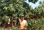 'Ép duyên' bơ cổ thụ với bơ 034, bác nông dân ở Đà Lạt bất ngờ thu hàng trăm triệu đồng