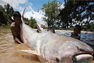 Hiếm có, 'thủy quái' khổng lồ, nặng 600 kg trên sông Cửu Long