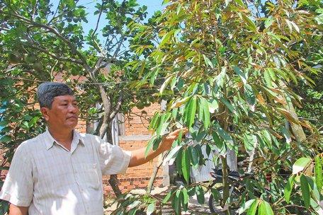 Sầu riêng ở cù lao Dài (Vũng Liêm) chịu nhiều thiệt hại do hạn mặn.