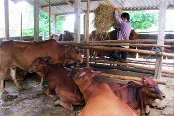 Vietnam to develop cattle breeding, sayofficials