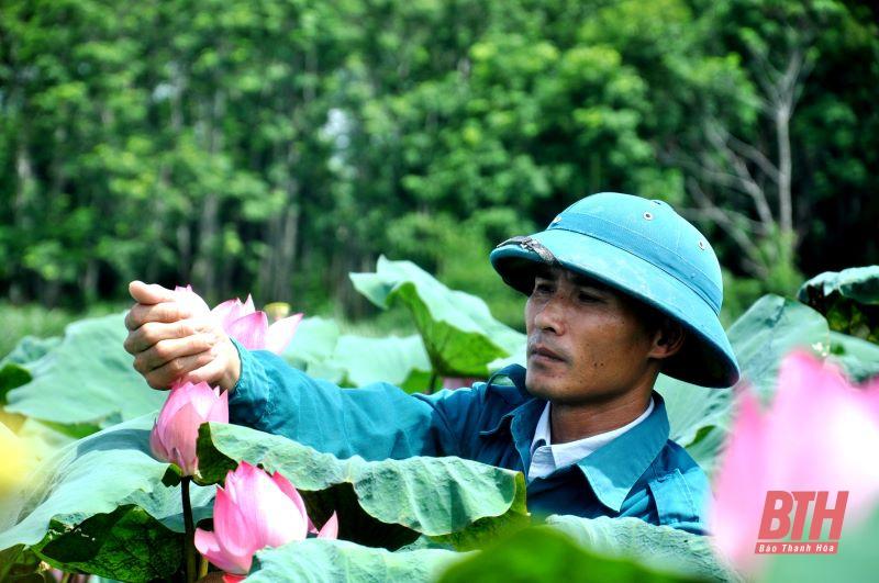 """""""Hái"""" tiền tỷ nhờ trồng cây sen Nhật"""