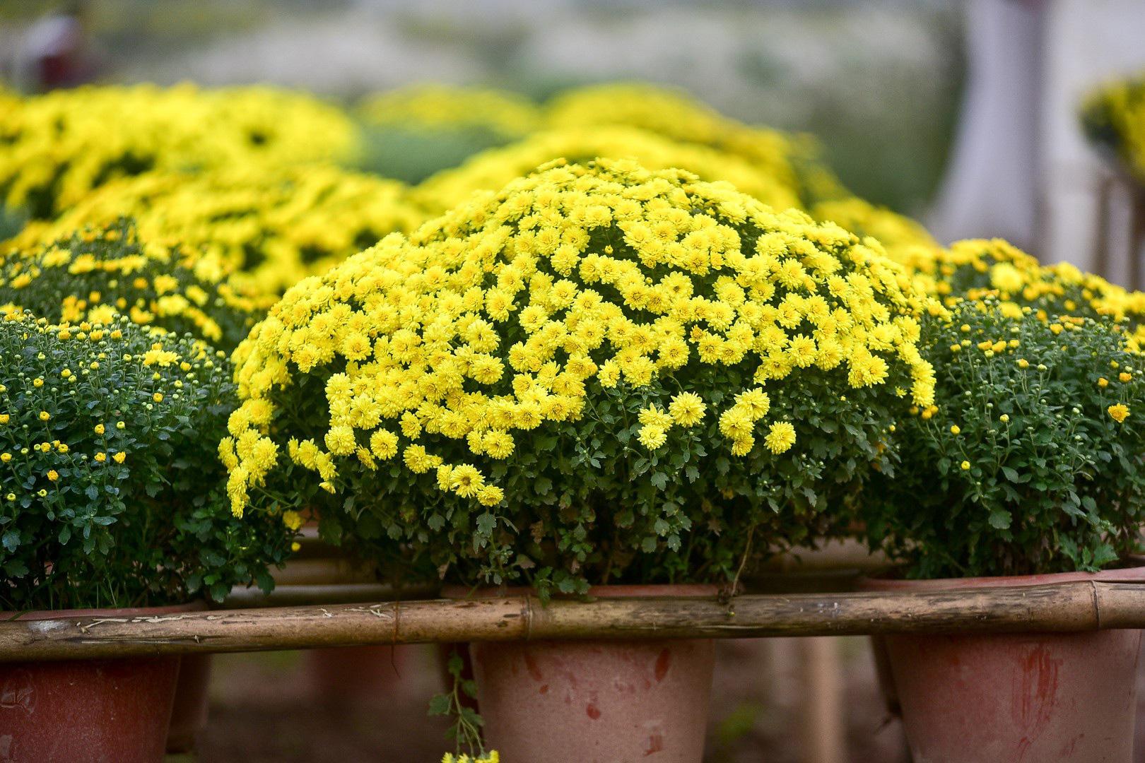 Những cây hoa hợp phong thủy không thể thiếu trong nhà ngày Tết - Ảnh 3.