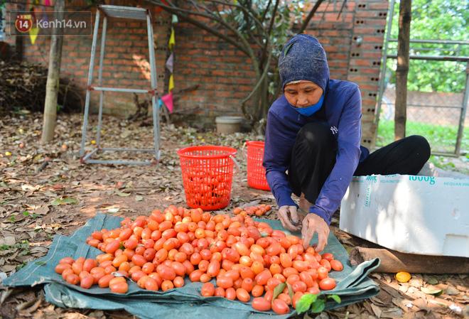 """Mùa nhót chín đỏ ở Hà Nội: Nông dân """"ngại"""" ra vườn, thương lái buồn chán vì hàng không bán được - Ảnh 1."""