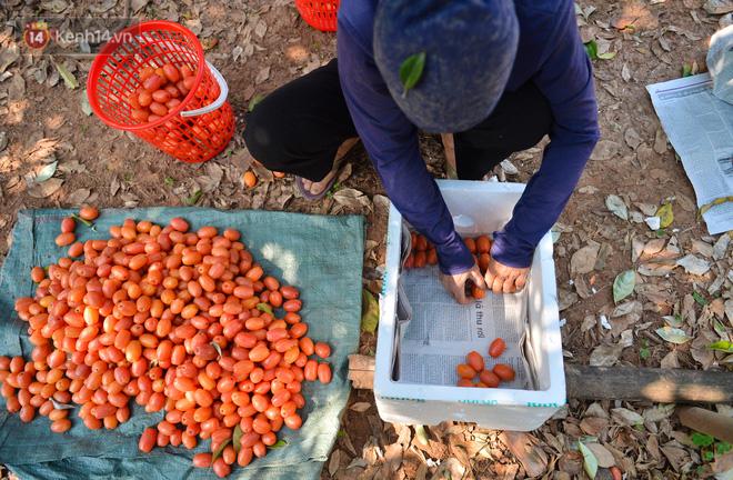 """Mùa nhót chín đỏ ở Hà Nội: Nông dân """"ngại"""" ra vườn, thương lái buồn chán vì hàng không bán được - Ảnh 2."""