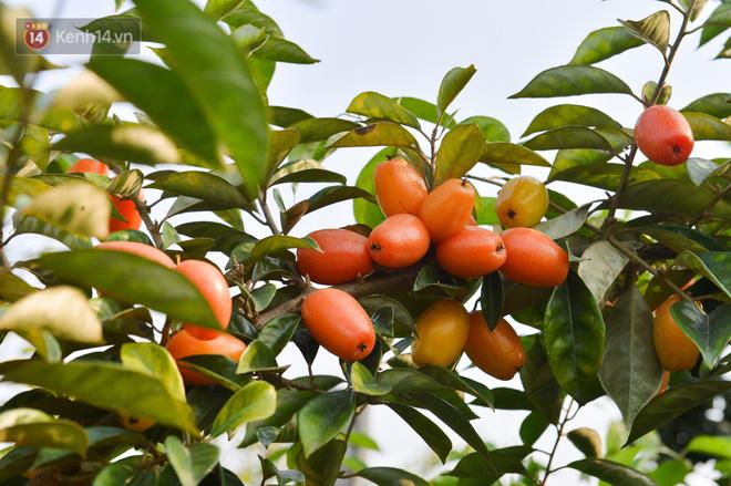 """Mùa nhót chín đỏ ở Hà Nội: Nông dân """"ngại"""" ra vườn, thương lái buồn chán vì hàng không bán được - Ảnh 12."""