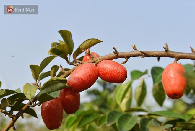 """Mùa nhót chín đỏ ở Hà Nội: Nông dân """"ngại"""" ra vườn, thương lái buồn chán vì hàng không bán được - Ảnh 13."""