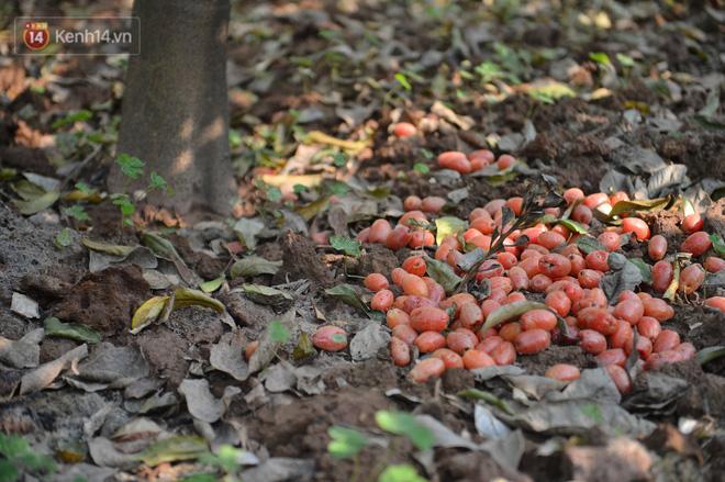 """Mùa nhót chín đỏ ở Hà Nội: Nông dân """"ngại"""" ra vườn, thương lái buồn chán vì hàng không bán được - Ảnh 4."""