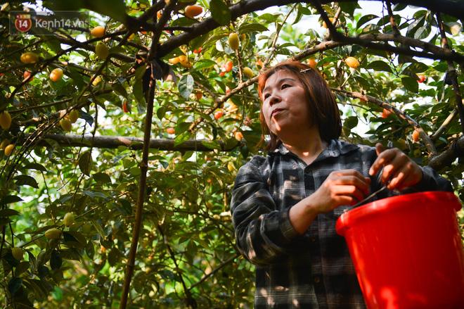 """Mùa nhót chín đỏ ở Hà Nội: Nông dân """"ngại"""" ra vườn, thương lái buồn chán vì hàng không bán được - Ảnh 5."""