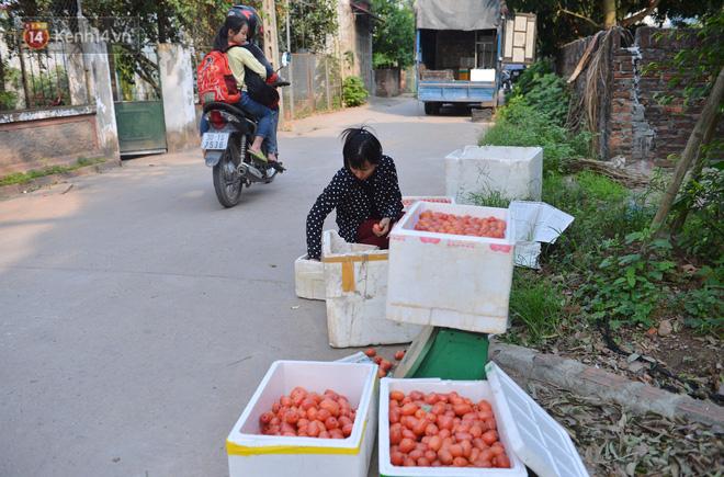 """Mùa nhót chín đỏ ở Hà Nội: Nông dân """"ngại"""" ra vườn, thương lái buồn chán vì hàng không bán được - Ảnh 10."""