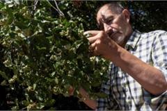 Loại cây quý hiếm chỉ có ở Chile này có thể tạo ra 4,4 tỷ liều vắc-xin Covid-19