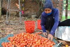 Mùa nhót chín đỏ ở Hà Nội: Nông dân 'ngại' ra vườn, thương lái buồn chán vì hàng không bán được