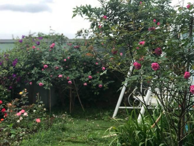 Triệu đóa hồng khoe sắc trong khu vườn 600m2 của cô giáo dạy Văn ở Đà Lạt - 1