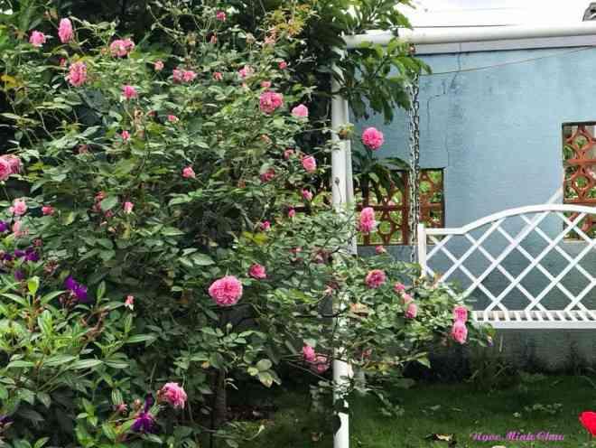 Triệu đóa hồng khoe sắc trong khu vườn 600m2 của cô giáo dạy Văn ở Đà Lạt - 2