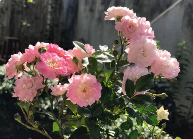 Triệu đóa hồng khoe sắc trong khu vườn 600m2 của cô giáo dạy Văn ở Đà Lạt - 7