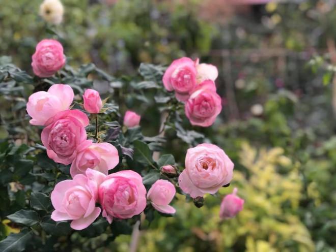 Triệu đóa hồng khoe sắc trong khu vườn 600m2 của cô giáo dạy Văn ở Đà Lạt - 6
