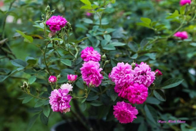 Triệu đóa hồng khoe sắc trong khu vườn 600m2 của cô giáo dạy Văn ở Đà Lạt - 8