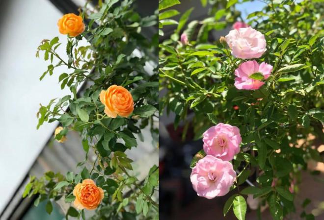 Triệu đóa hồng khoe sắc trong khu vườn 600m2 của cô giáo dạy Văn ở Đà Lạt - 12