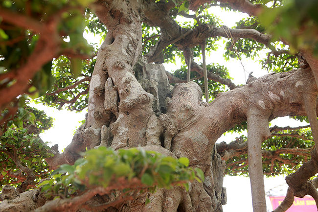 """Sự """"cổ lão phong sương"""" mang dấu ấn của năm tháng được thể hiện rất rõ qua màu vỏ mốc meo, thân u cục của cây sanh cổ này."""