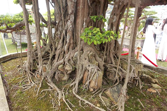 Dường như tuổi tác đã làm cho gốc rễ, thân cành của cây chùn ngắn lại. Ngược lại, lớp vỏ cây sần sùi hơn và rêu phong cũng phủ kín hơn...