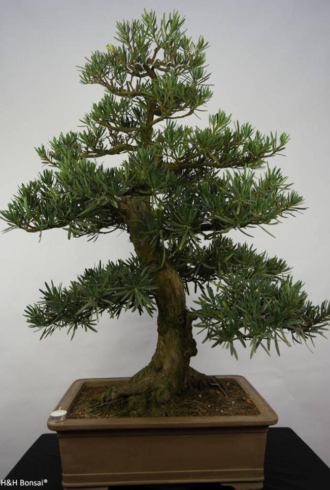 Chúng có nguồn gốc từ các vùng núi của Trung Quốc và Nhật Bản.