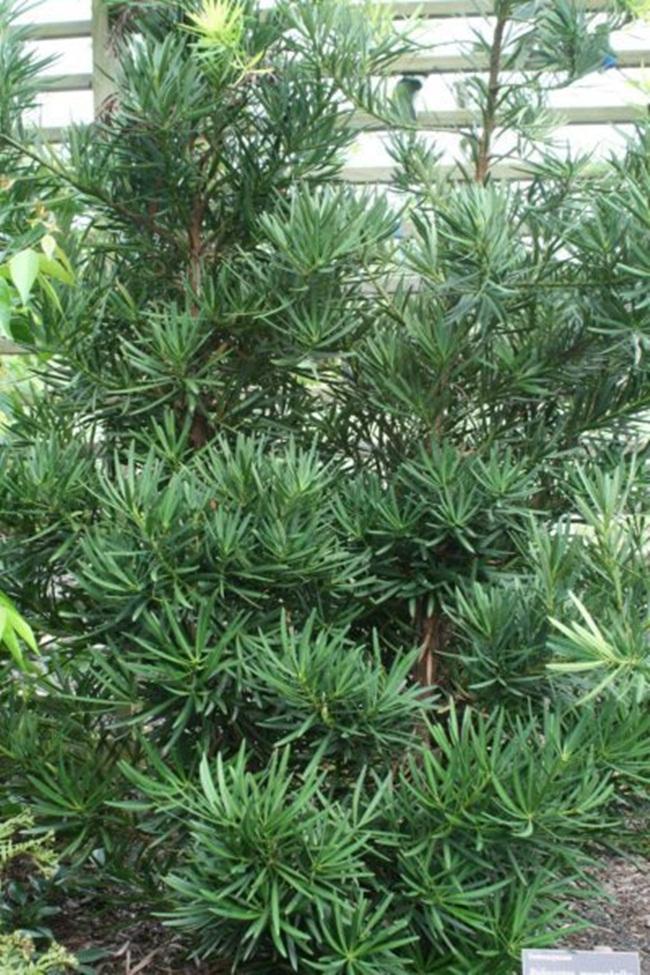 Cây vạn niên tùng có thể sống trong điều kiện nhiều ánh sáng, song chúng cũng có thể sống trong nhà. Tuy nhiên, người trồng cầntránh đặt cây ở nơi tiếp xúc quá nhiều ánh sáng.