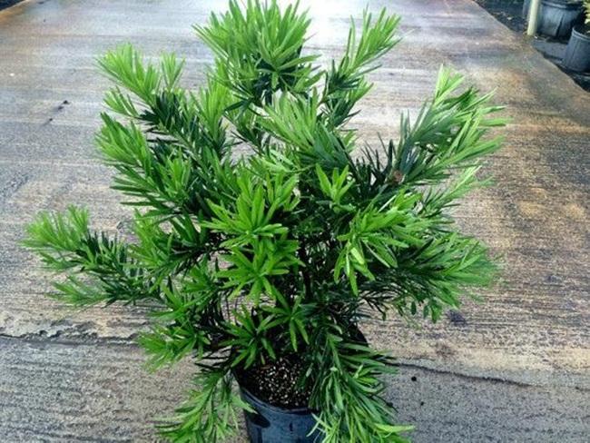 Cây vạn niên tùng có lá giữ được màu xanh trong thời gian dài, không rụng lá theo mùa. Thậm chí lá không bị rụng suốt nhiều năm.