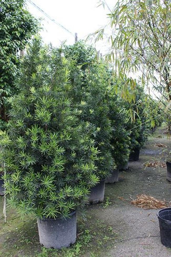 Ưu điểm của cây có hình dáng đẹp, dễ uốn tỉa. Đây cũng là cây có thể trồng ngoài trời hoặc chăm sóc thành kiểu bonsai.