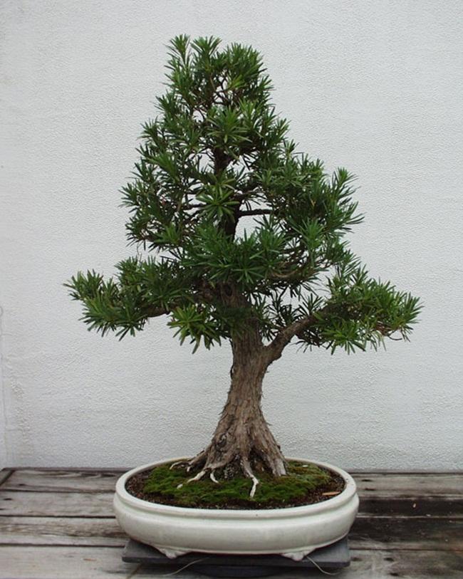 Có thông tin nói cây sống thọ nên nếu điều kiện sống thuận lợi thì 5 năm cây mới thay lá một lần.