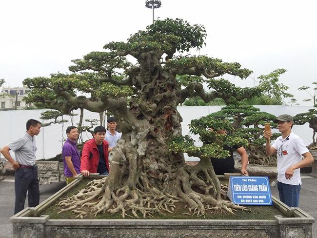 """Theo tìm hiểu , cây """"Tiên lão giáng trần"""" có nguồn gốc là ngọn của một cây sanh khác, được ông Mười cắt ra và chăm sóc trong khoảng hơn 10 năm."""
