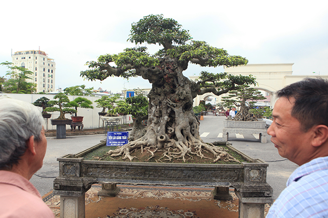 Cây sanh này cao khoảng gần 2m, đặt trong chậu dài 1,5m. Thân cây chủ được ông Mười mua của một người dân sinh sống ở vùng Phát Diệm – Ninh Bình, có tuổi đời khoảng 300 năm.