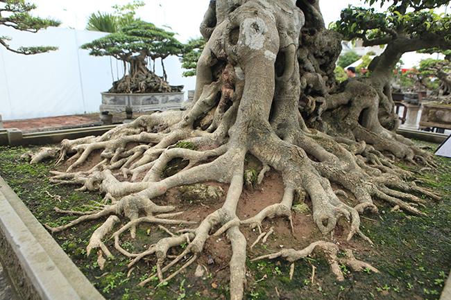 Cây sanh này cho ra bộ rễ đẹp, thân kỳ quái với những vết sẹo của năm tháng hằn lên, mốc trắng... .