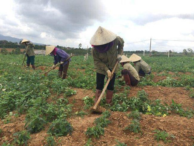Theo tìm hiểu được biết, sản phẩm sâm Bố chính khi được trồng ra trong mấy năm qua đã được một số doanh nghiệp trong tỉnh bao tiêu ngay tại vườn.